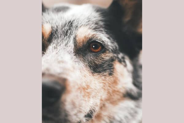 eye close up of sick dog, photo
