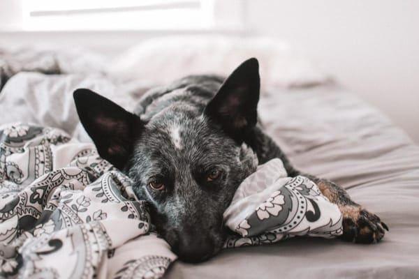 blue heeler sick lying on bed, photo