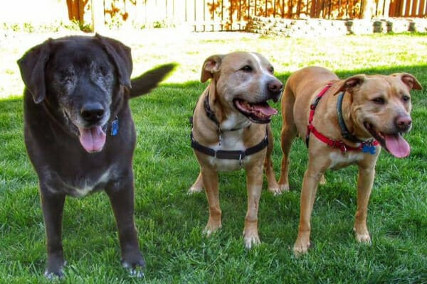 Clark after enucleation with two pit bull dog friends, photo