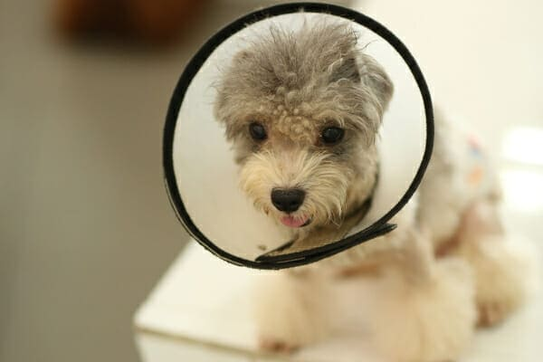 Small poodle wearing an Elizabethan collar, photo