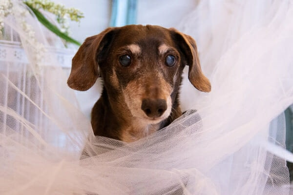 Dachshund with bilateral cataracts, standing in pink tulle, photo
