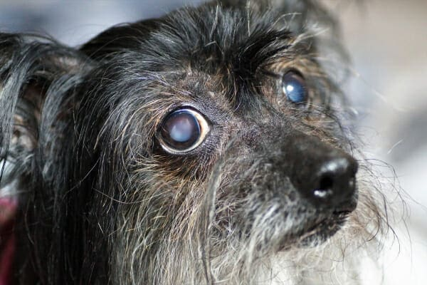 Terrier mix dog with bilateral cataracts, photo