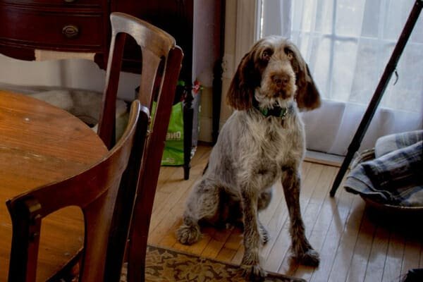 Spinone Italiano dog sitting in the kitchen near the dining room table, photo