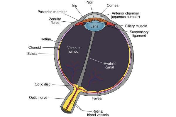 Diagram of the eye, photo