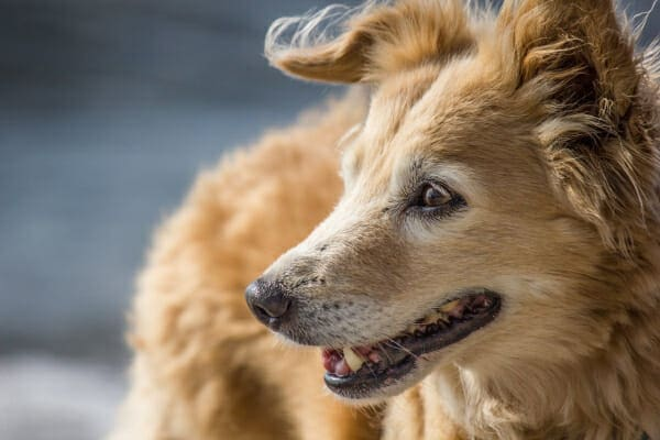 Senior Collie mix outside in the sun, photo