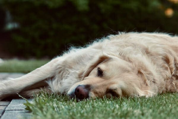 Golden Retriever sleeping outside on the lawn, photo
