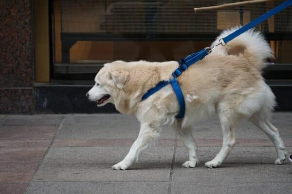 Senior Golden Retriever mix being walked on the sidewalk, photo