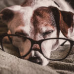 Canine Cognitive Dysfunction in Dogs: Signs, Symptoms, Solutions