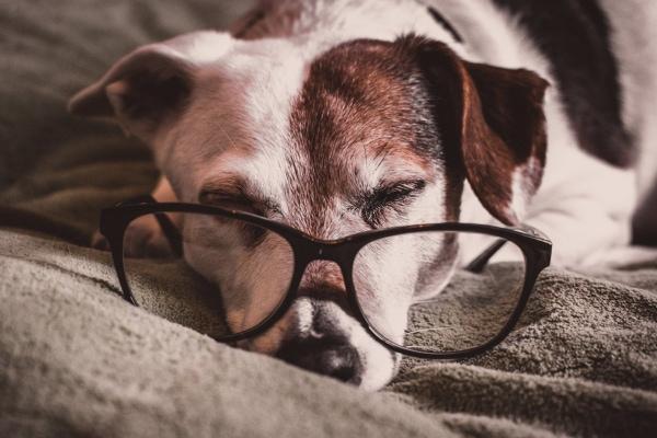 Senior terrier wearing owner,s glasses, sleeping on blanket, photo