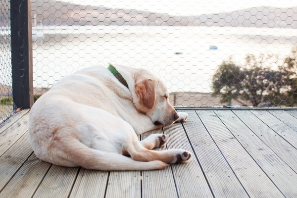 Yellow Lab sleeping outside on the deck near the lake, photo