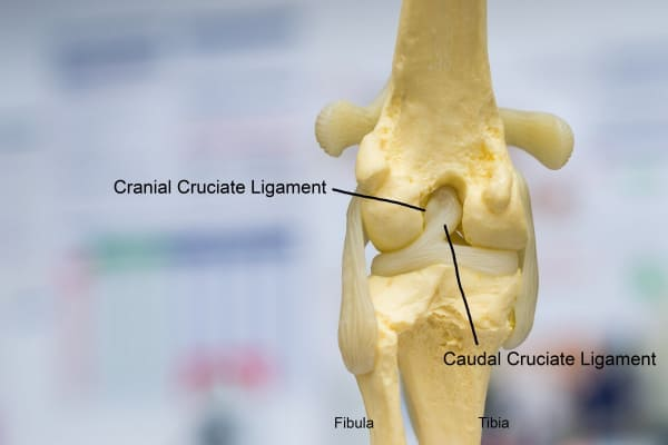 Stifle joint diagram, photo