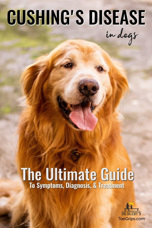 golden retriever panting and title cushing's disease in dogs