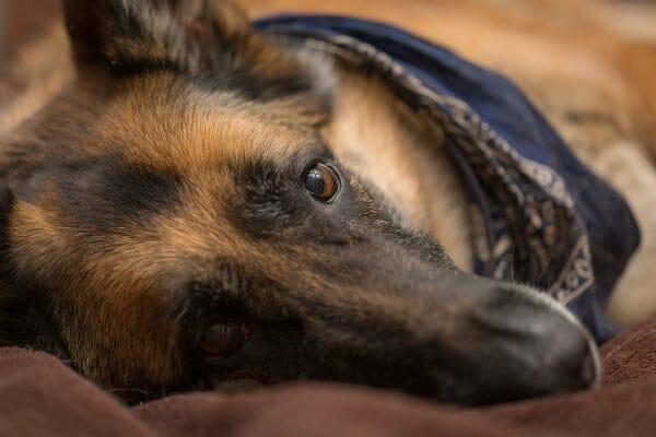 german shepherd lying on side, photo