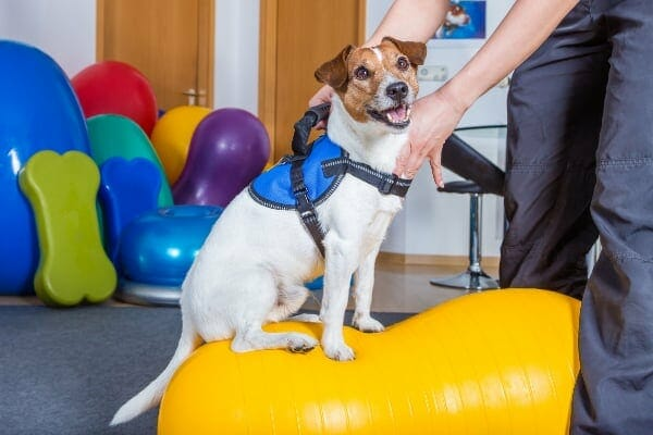 dog sitting on balance ball and receiving physical therapy, photo
