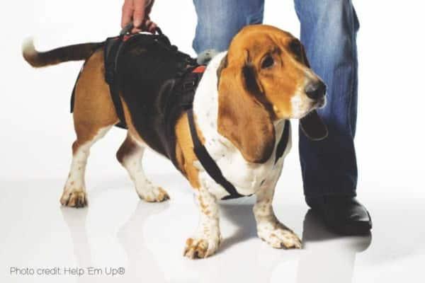 hound in walking harness, photo