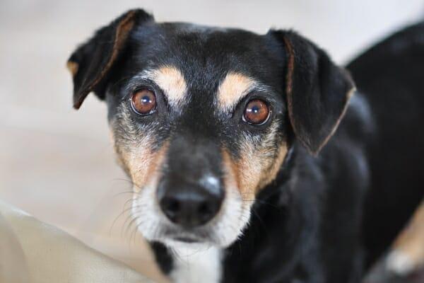 Small mixed breed senior dog looking up at you, photo