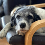5 Signs of Dementia in Dogs and What to Do About Them