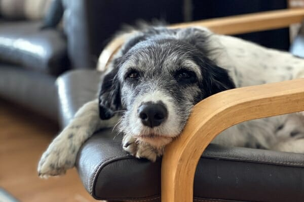 Senior mixed breed dog laying on a living room chair, photo