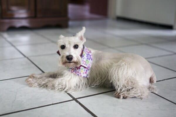 White schnauzer laying on the tiled floor wearing a flower bandana, photo