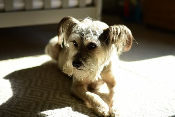 Small Terrier mix laying on the carpet in the sun, photo