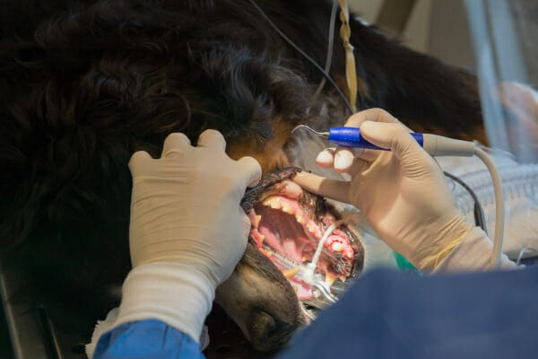 Bernese Mountain Dog under general anesthesia, receiving a dental cleaning, photo