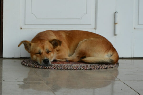 Lab mix sleeping on a rug in the kitchen, photo