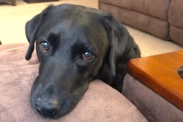 older black lab diagnosed with hemangiosarcoma in dogs looking sad, photo