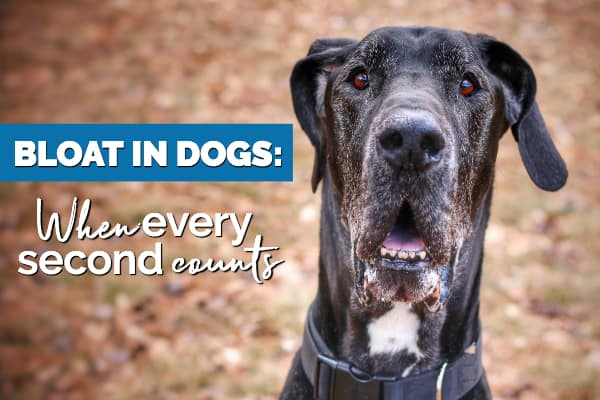 Older Great Dane's face with title: Bloat in Dogs When Every second counts. Photo