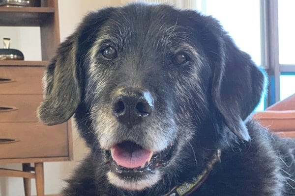 black dog with grey face. photo.
