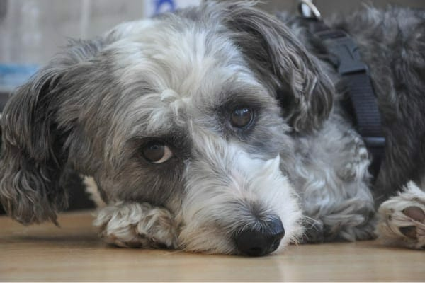 Dog lying down with a sad, painful expression, photo