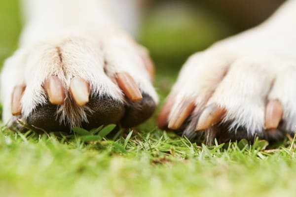 close-up of dog toenails with good dog nail care