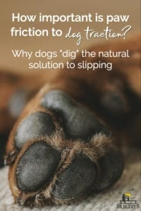 """Close-up of a dog's paw pad and title How important is paw friction to dog traction: why dogs """"dig"""" the natural solution to slipping"""
