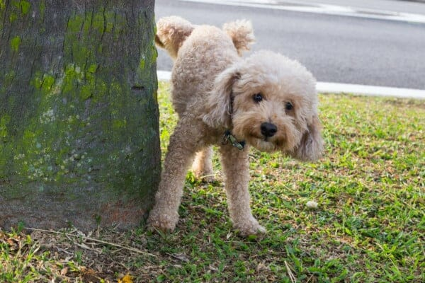 photo male dog peeing in the morning