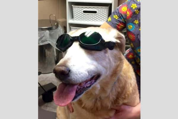 Old dog wearing doggles before laser therapy treatment, photo