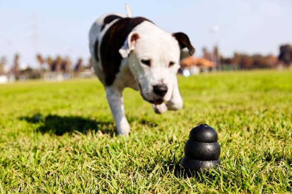dog with dog chewing toy