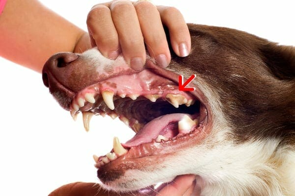 dog's teeth with arrow to the fourth premolar