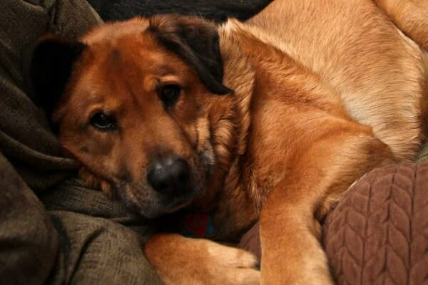 Shepherd mix dog laying on the couch, snuggled in blankets, photo