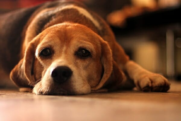 Beagle laying down on the floor, photo