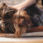 How to Feed A Dog With Vestibular Disease: A Comprehensive Guide