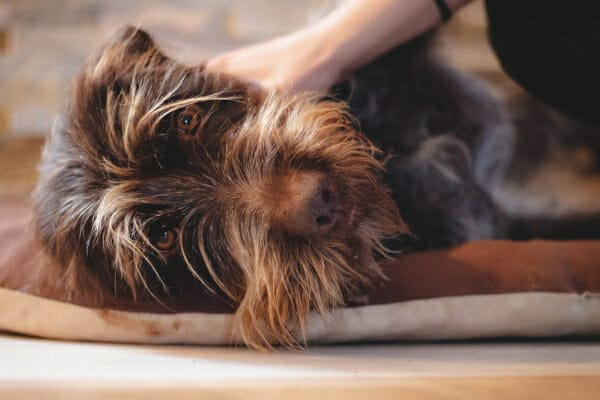 German Wirehaired Pointer lying down with owners hand comforting him, photo