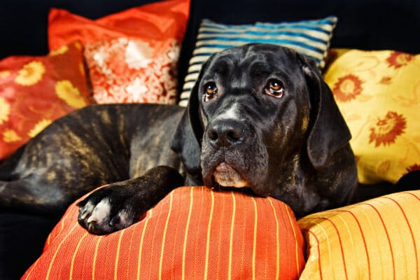 Mastiff mix lying down among several pillows for support, photo