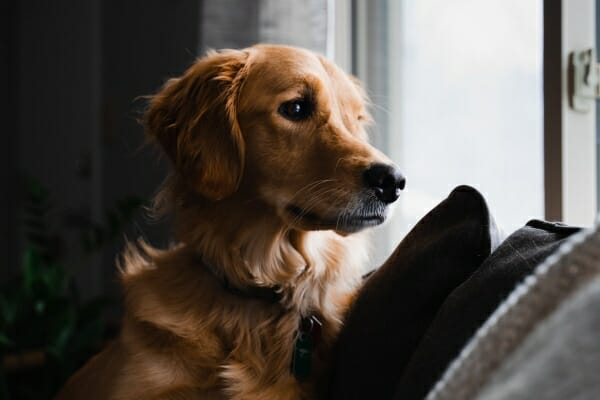 Golden Retriever on the couch looking out the window anxiously, photo