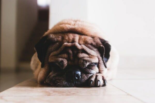 Pug sleeping on the tile floor, photo