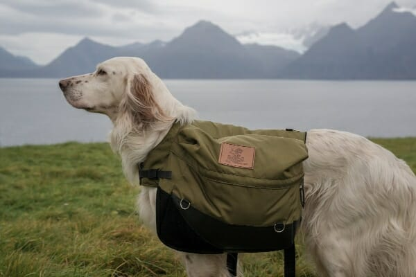 English Setter wearing a pack, outdoors at a lake, photo