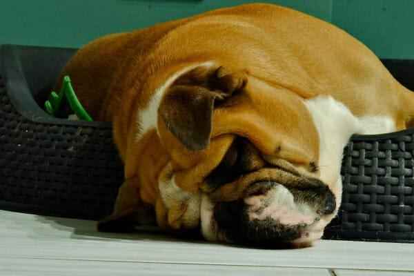 A bulldog sleeping, half falling out of his dog bed, photo