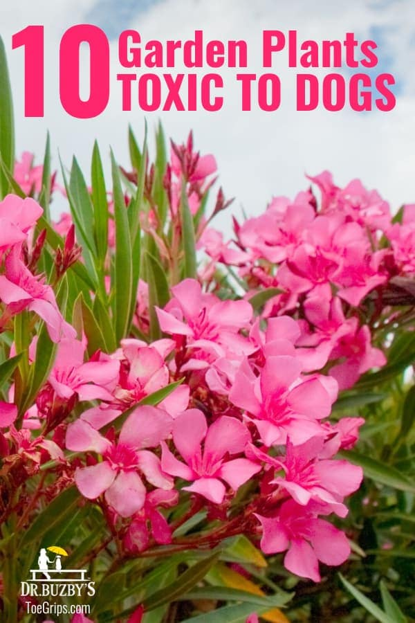 10 Garden Plants That Are Dangerous To Dogs With Pictures