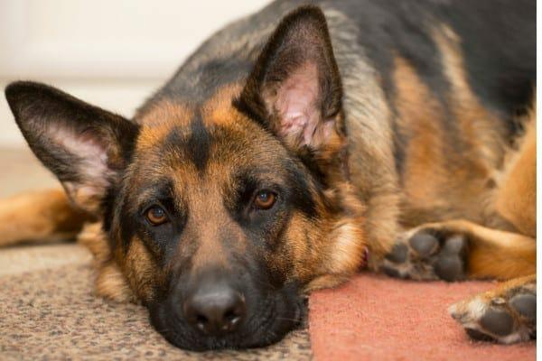 photo german shepherd as example of large breed dog with intervertebral disc disease