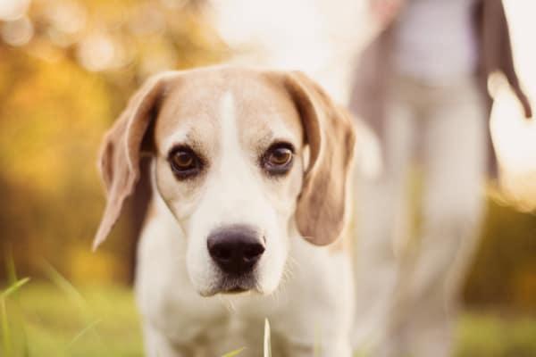 beagle mix close up, photo