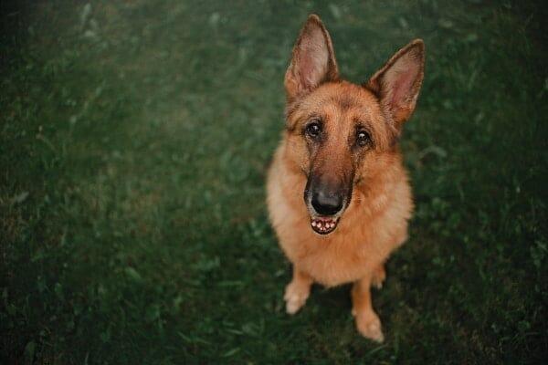 german shepherd dog on green grass, photo