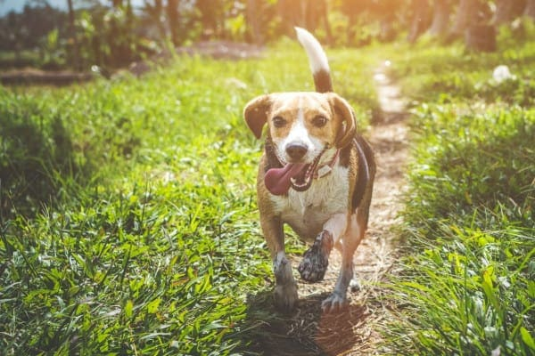 happy senior dog trotting on a path, photo